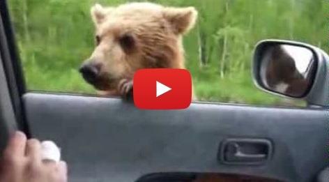 Russian Road Beggar Bear
